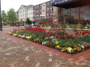 The Wade_tulips (4)