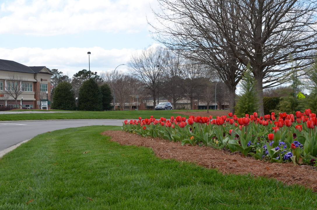 Blooming Tulips Weston Cary, NC - Big News At Bland Landscaping Company Raleigh, NC